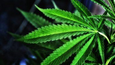 Cannabis. Foto Tomada de Once Noticias