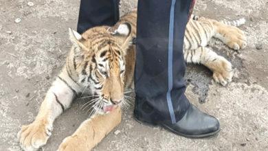 #Michoacán Rescatan A Cachorro De Tigre De Bengala; Hay Un Detenido
