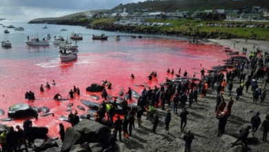 Photo of Matan 287 Ballenas Y Delfines En El Atlántico Norte Para Hacer Ritual Ancestral