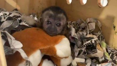 Photo of #Video GN Rescata A Mono Capuchino De Ser Enviado Por Paquetería
