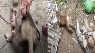 Photo of Monos Son Esclavizados Para Conseguir Leche De Coco: PETA