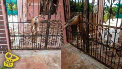 Photo of Abandonan A Perrita En Casa De Yucatán, Muere Clavada En Reja Intentando Cruzar