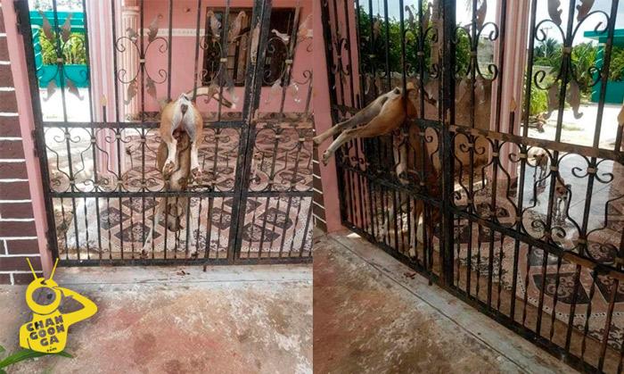Abandonan A Perrita En Casa De Yucatán, Muere Clavada En Reja Intentando Cruzar