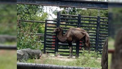 Se Viraliza Foto De Camello En Los Huesos Del Zoo De Morelia