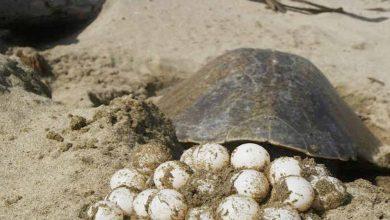 Photo of HDSPM, Detienen A Sujeto Con 96 Huevos de Tortugas En LZC