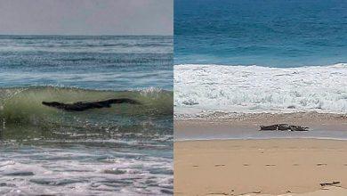 Photo of Cocodrilo Gigante Asusta A Turistas En Playas De Acapulco