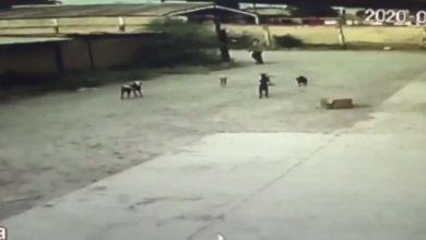 Photo of Pasa En México: Perros Muerden Hasta La Muerte A Chavo, Los Van A Sacrificar
