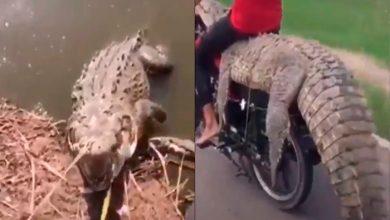 Capturan Cocodrilo Y Se Lo Llevan Montado En Motocicleta