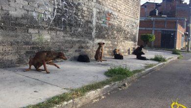 Photo of Activistas Morelianos Piden Protocolos Para Rescate De Perros Callejeros