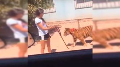 Photo of WTF Chavita Pasea A Tigre De Bengala Por Calles De Sinaloa