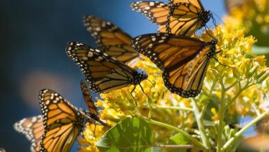 Photo of ¡Por Fin! Ya Está Cerca La Apertura De Santuarios De La Mariposa Monarca