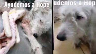 Photo of #AlertaPeluda Animalistas Morelianos Organiza Rifa Para Salvar A Perrita Usada Para Críanza