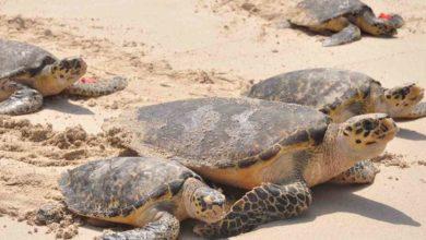 Photo of ¡De Huevos! En Cancún Gracias A Pandemia Anidación De Turtles Rompe Récord