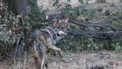 Photo of Para Que Crezca La Manada: Liberan Tres Lobos Mexicanos En Chihuahua