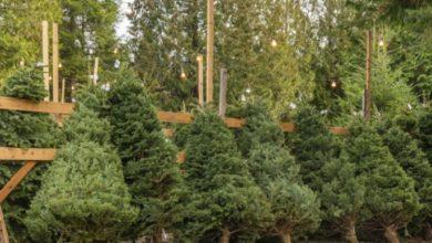 Photo of #Morelia ¿Tienes Árbol  Navidad Natural? ¡No Lo Tires! Recíclalo