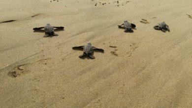 Photo of Después De Años, Tortuga Laúd Desova En Playas Michoacanas