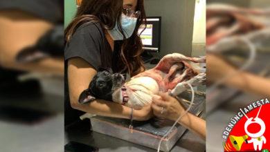 Photo of #Denúnciamesta Perros descuidados por dueños le arrancan patita a peluda